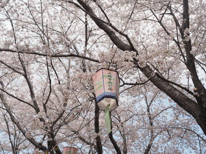 正福寺山公園の桜_c0116915_00512885.jpg