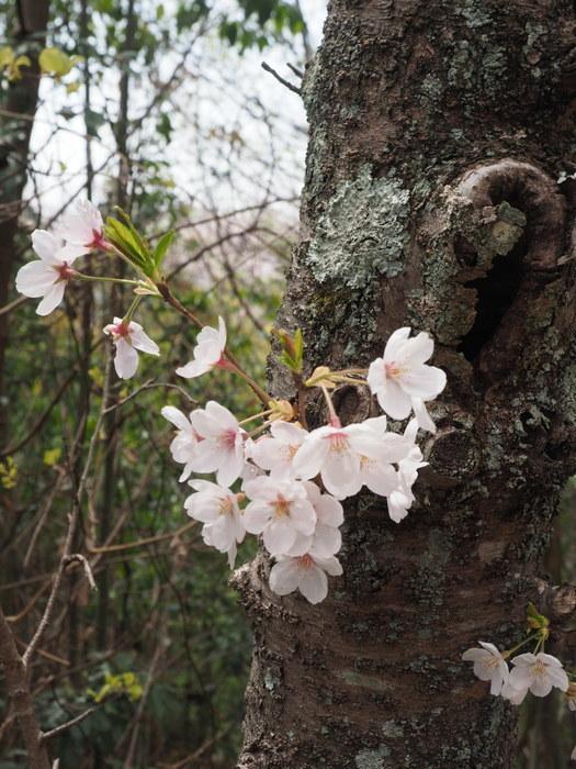 正福寺山公園の桜_c0116915_00541950.jpg