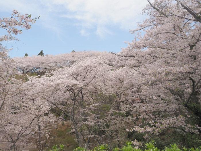 正福寺山公園の桜_c0116915_00550830.jpg