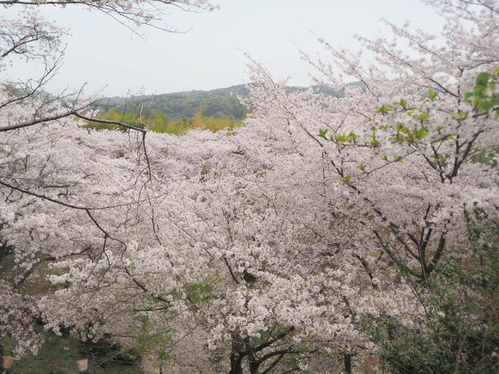 正福寺山公園の桜_c0116915_00563678.jpg