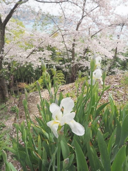 正福寺山公園の桜_c0116915_00585514.jpg