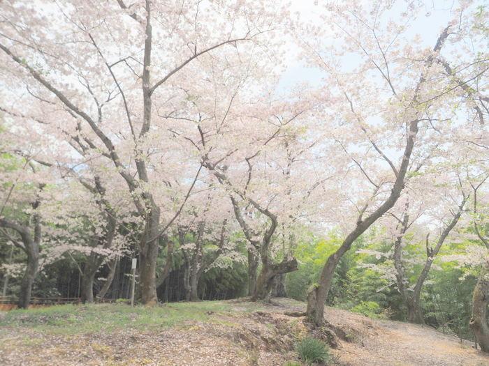 正福寺山公園の桜_c0116915_00593062.jpg