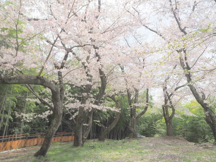 正福寺山公園の桜_c0116915_00595123.jpg