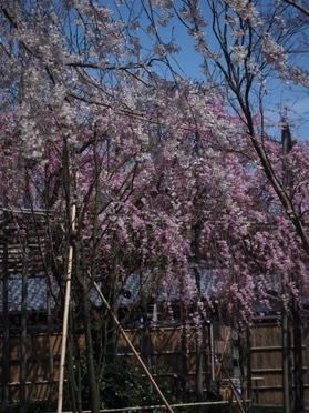 枝垂れ桜が見頃です_e0135219_09184402.jpg