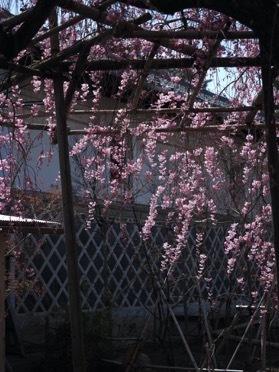 枝垂れ桜が見頃です_e0135219_09184720.jpg