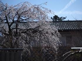 枝垂れ桜が見頃です_e0135219_09184938.jpg