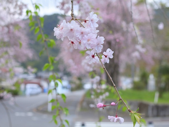 枝垂れ桜_f0327034_21231492.jpg