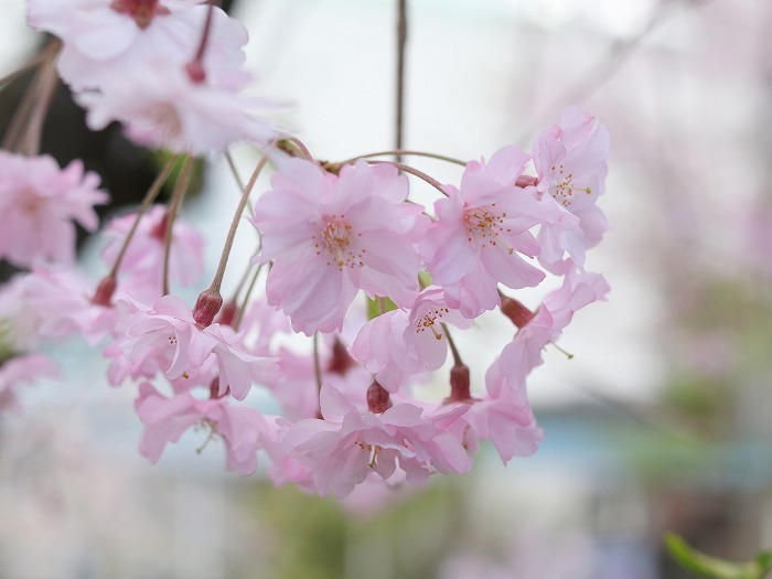 枝垂れ桜_f0327034_21231914.jpg