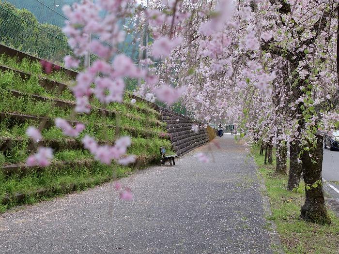 枝垂れ桜_f0327034_21232311.jpg