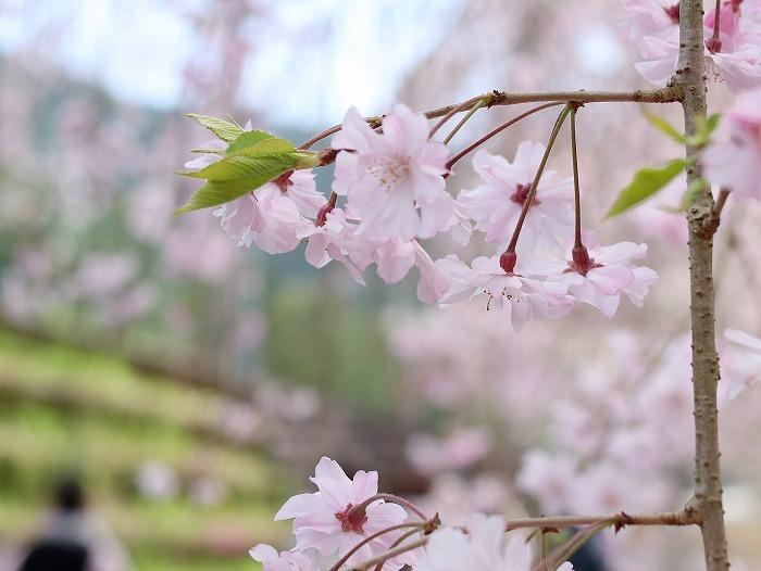 枝垂れ桜_f0327034_21232702.jpg