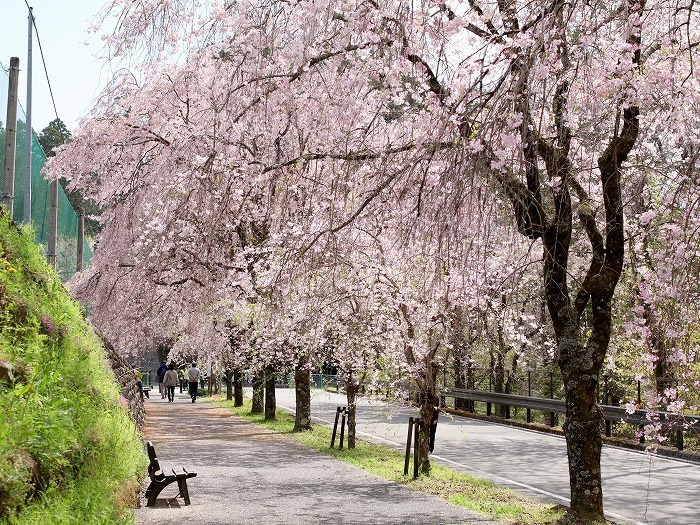 枝垂れ桜_f0327034_21233183.jpg