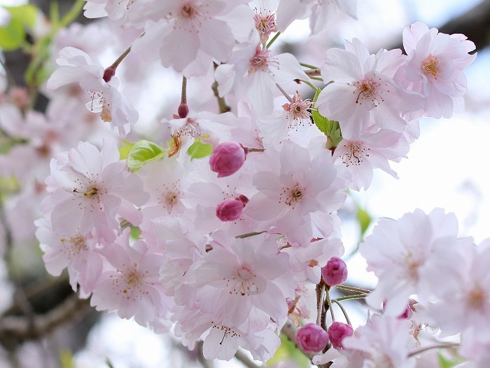 枝垂れ桜_f0327034_21233503.jpg