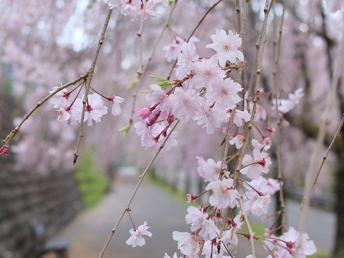 枝垂れ桜_f0327034_21233914.jpg