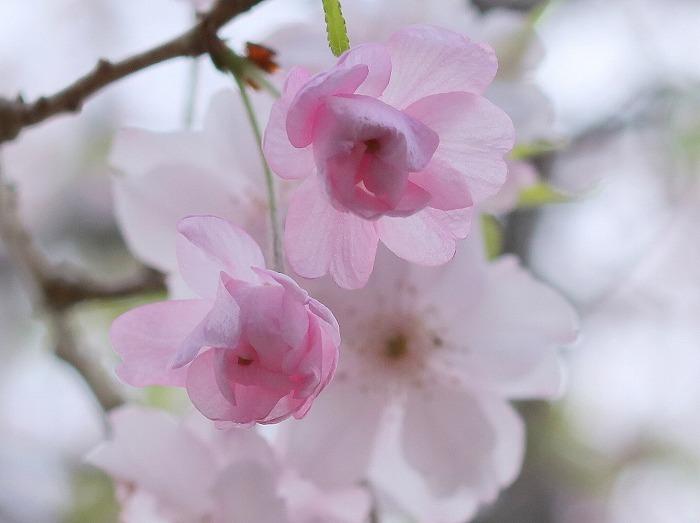 枝垂れ桜_f0327034_21234315.jpg