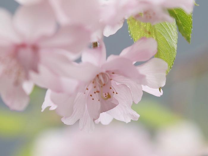 枝垂れ桜_f0327034_21235056.jpg