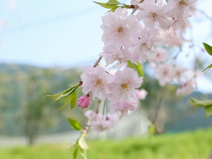 枝垂れ桜_f0327034_21235896.jpg