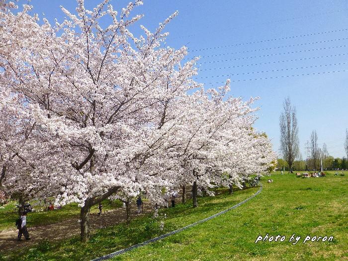 桜開花と芽吹きの季節_c0137342_19500268.jpg