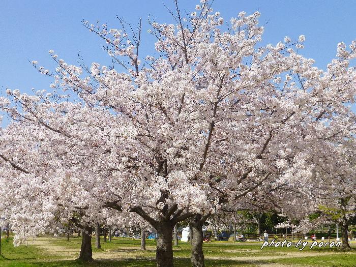 桜開花と芽吹きの季節_c0137342_19504720.jpg