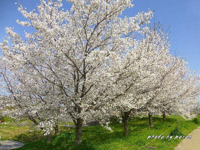 桜開花と芽吹きの季節_c0137342_19583850.jpg
