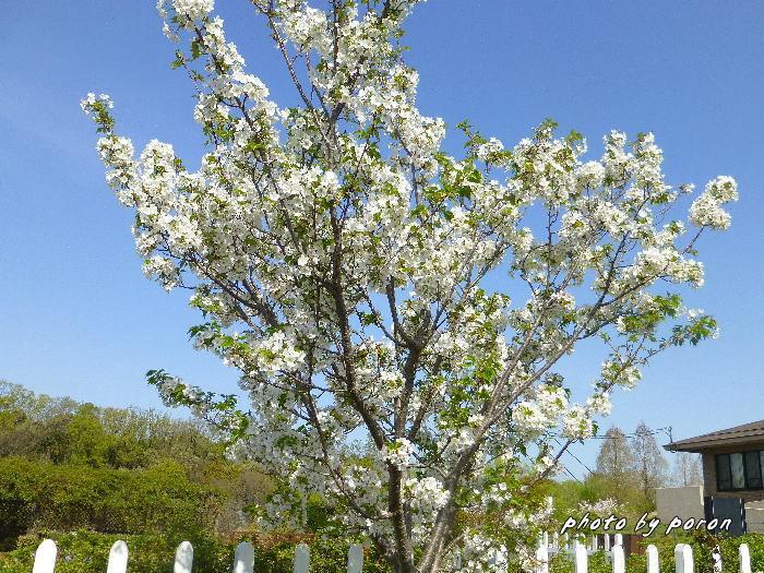 桜開花と芽吹きの季節_c0137342_19590002.jpg