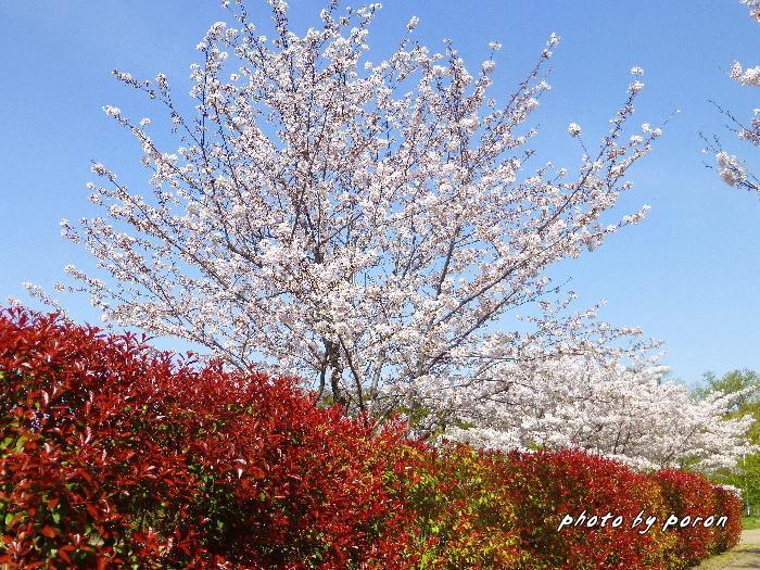 桜開花と芽吹きの季節_c0137342_20052769.jpg