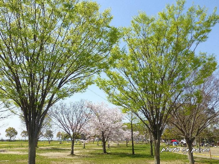 桜開花と芽吹きの季節_c0137342_20080357.jpg