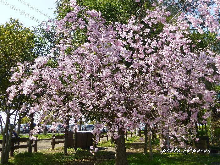 桜開花と芽吹きの季節_c0137342_20171306.jpg