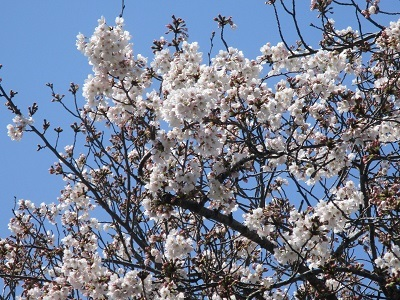 2021年の桜(1)-水門川沿い-_f0197754_00165018.jpg