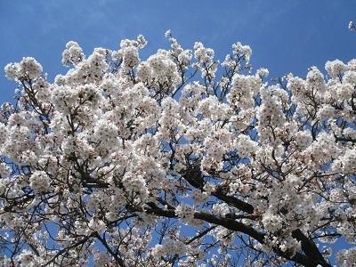 2021年の桜(1)-水門川沿い-_f0197754_00165983.jpg