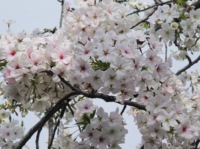 2021年の桜(1)-水門川沿い-_f0197754_00215509.jpg