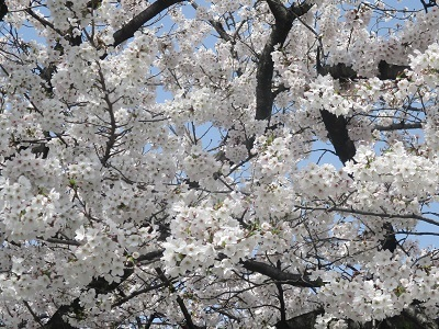 2021年の桜(1)-水門川沿い-_f0197754_00252672.jpg