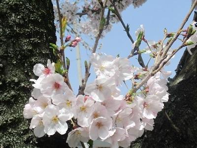 2021年の桜(1)-水門川沿い-_f0197754_00252986.jpg