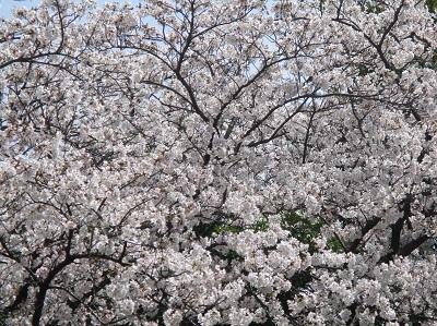 2021年の桜(1)-水門川沿い-_f0197754_00253875.jpg