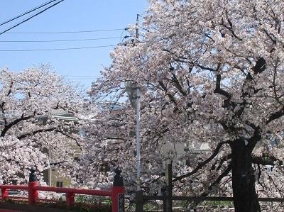 2021年の桜(1)-水門川沿い-_f0197754_00353049.jpg