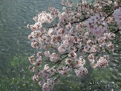 2021年の桜(1)-水門川沿い-_f0197754_00353311.jpg