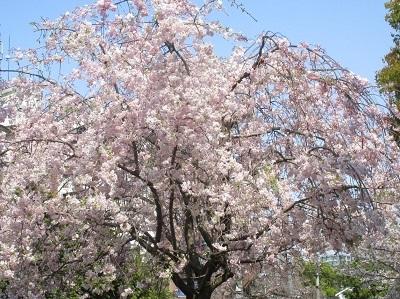 2021年の桜(1)-水門川沿い-_f0197754_00373630.jpg
