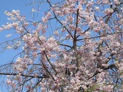 2021年の桜(1)-水門川沿い-_f0197754_00373971.jpg
