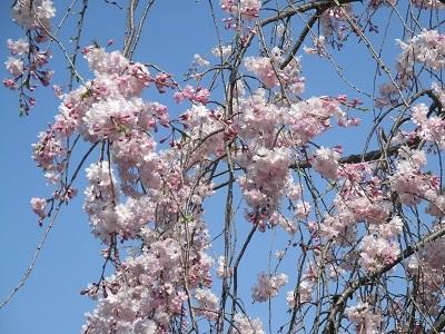 2021年の桜(1)-水門川沿い-_f0197754_00374148.jpg