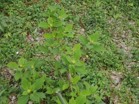 朱色のヤマツツジ満開、新緑に映える4・2_c0014967_06413956.jpg