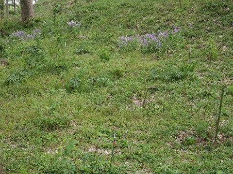 朱色のヤマツツジ満開、新緑に映える4・2_c0014967_06415361.jpg