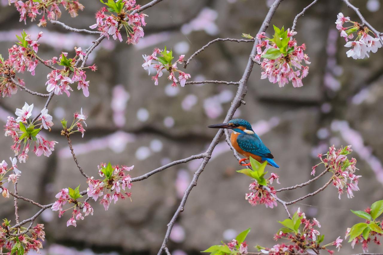 桜カワセミ_a0052080_20015099.jpg