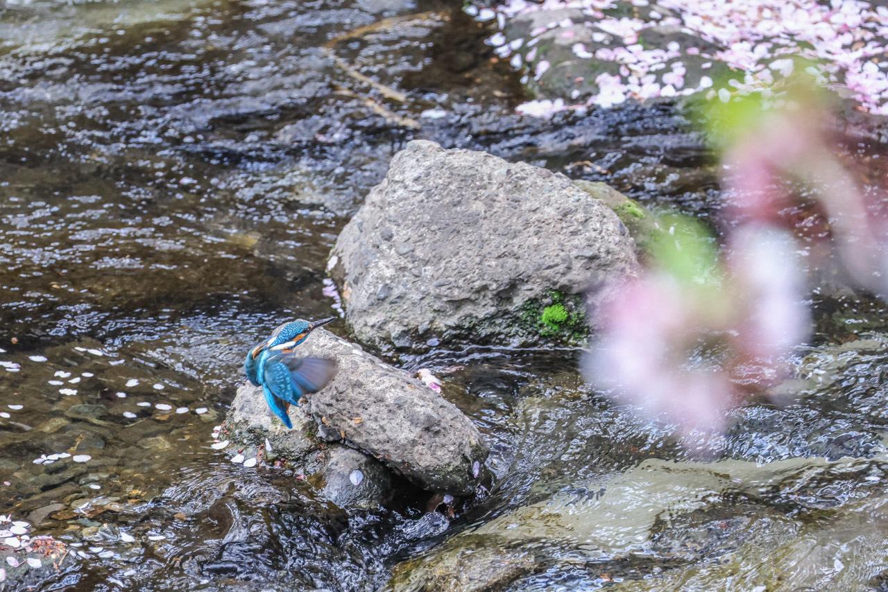 桜カワセミ_a0052080_20082923.jpg