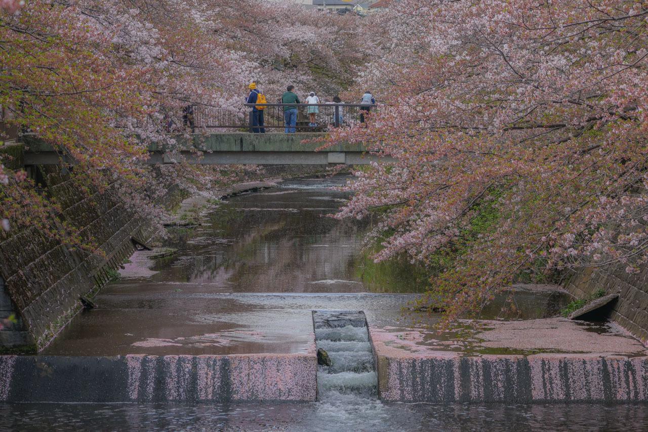 桜カワセミ_a0052080_20092264.jpg