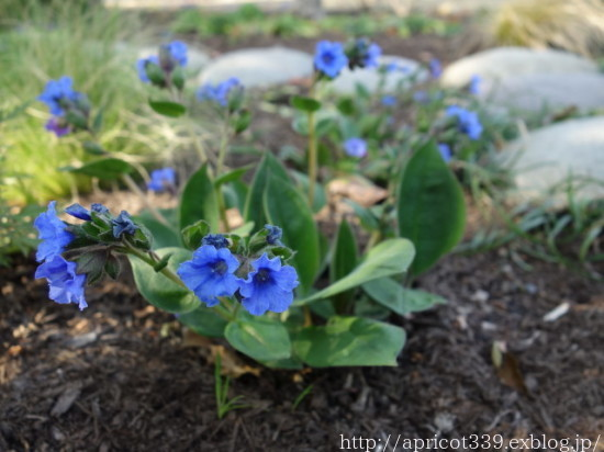 庭に咲いた宿根草と球根の花 2021年4月上旬_c0293787_17095664.jpg
