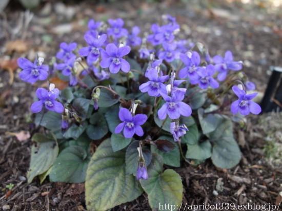 庭に咲いた宿根草と球根の花 2021年4月上旬_c0293787_17102104.jpg