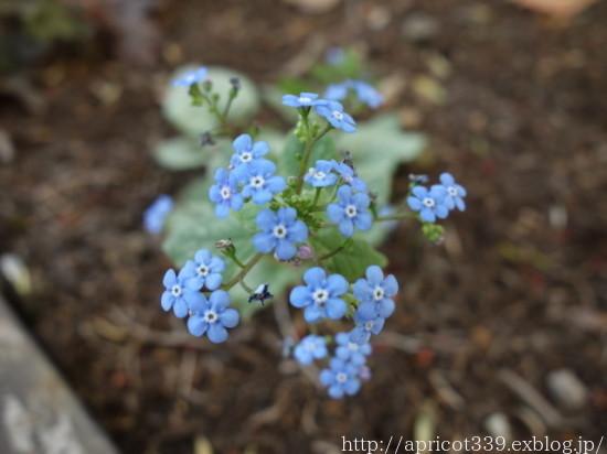 庭に咲いた宿根草と球根の花 2021年4月上旬_c0293787_17111883.jpg