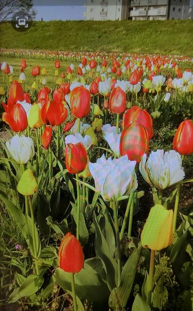 4月4日(日)葛飾の花火大会日程決まる_d0278912_07390504.jpg