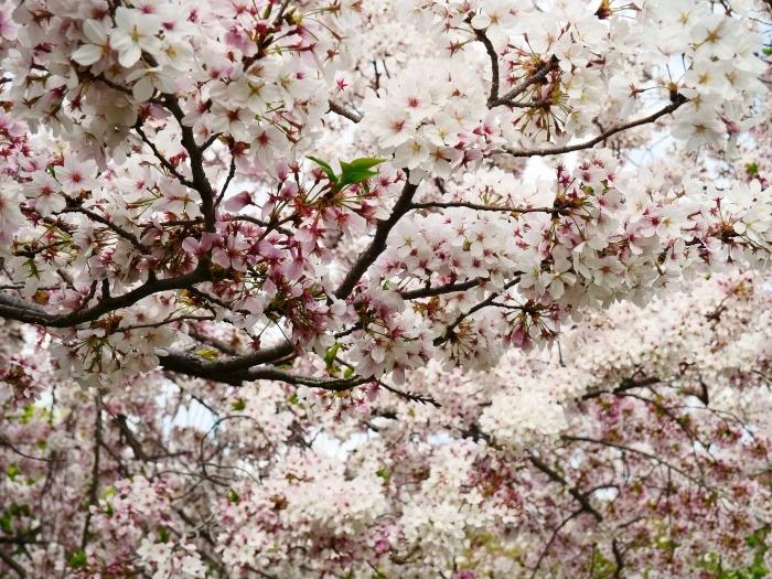 落花盛ん  2021-04-05 00:00_b0093754_22481652.jpg