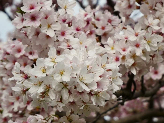 落花盛ん  2021-04-05 00:00_b0093754_22482736.jpg