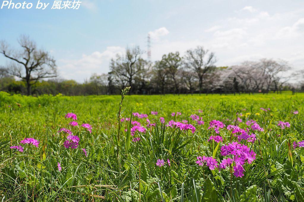 田島ヶ原のサクラソウ_d0358854_12574712.jpg